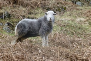 A Herdwick Sheep