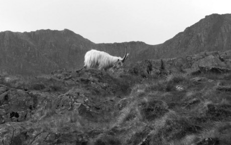 Mountain Goat on Snowdon