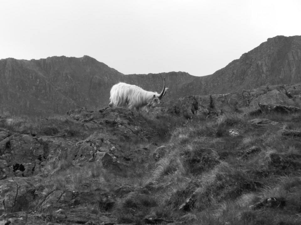 Mountain Goat on Snowdon